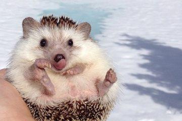 biddy-cute-hedgehog-adventures-26-605x400