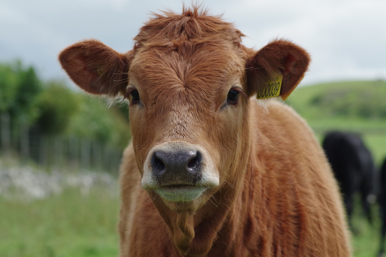 cow-897533_1280