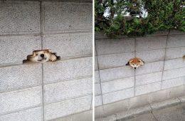 funny-dogs-sticking-heads-through-fences-7-57a2fee4a1ad2__700