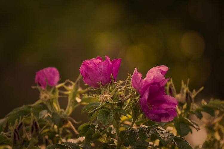 garden-rose-823824_1920