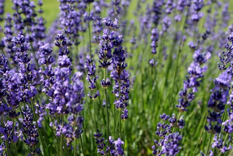 lavender-18316_1280
